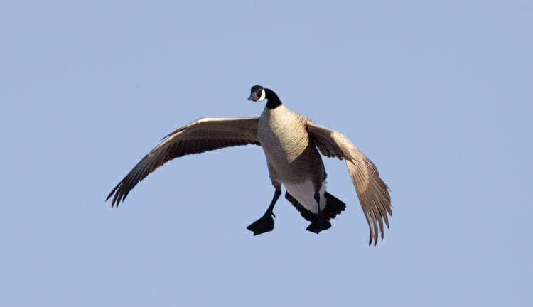 canada goose landing in colorado during a guided hunt